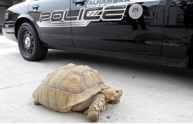 tortuga gigante huye de policía